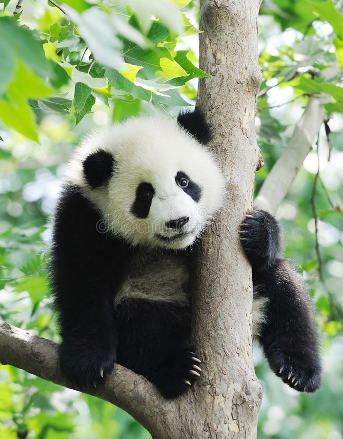 Baby Panda on the tree. Lovely baby Panda on the tree stock images