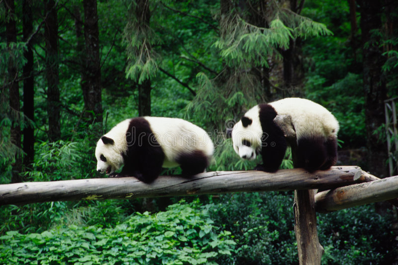 Baby Pandas. In wolong Research Base of Giant Panda Breeding,west of China