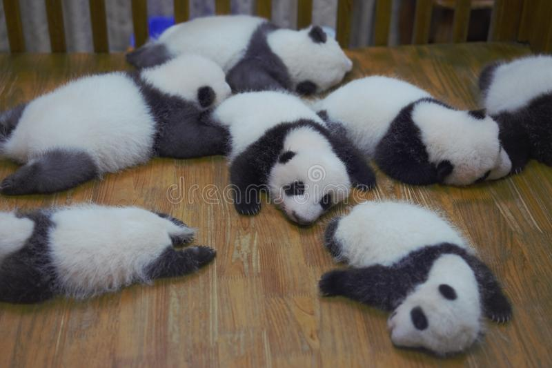 Baby Pandas Chengdu stock photography