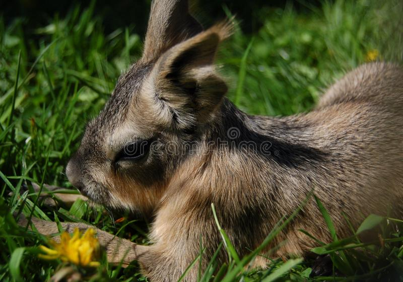 Baby Patagonian Cavy stock foto's