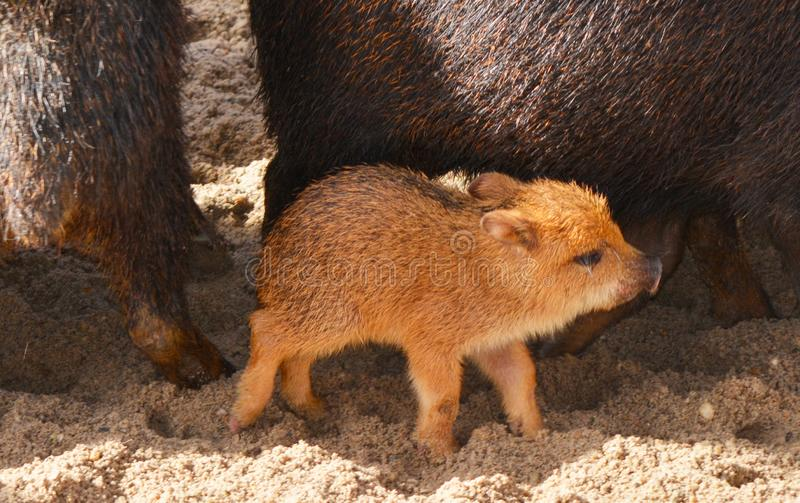 A baby peccary between the adults royalty free stock photo
