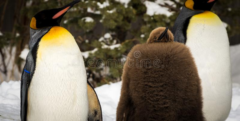 Baby penguin sleeping with two adults stock images