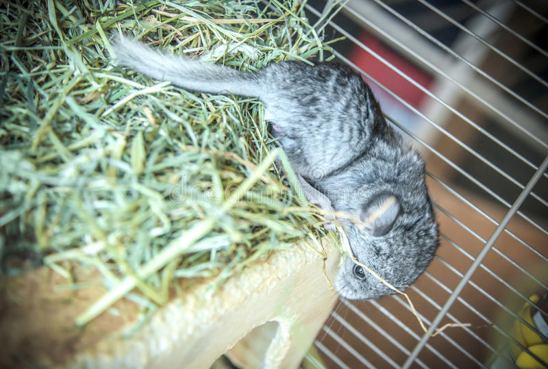 Baby pet chinchilla stock photo