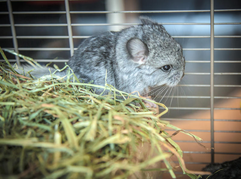 Baby pet chinchilla stock photography