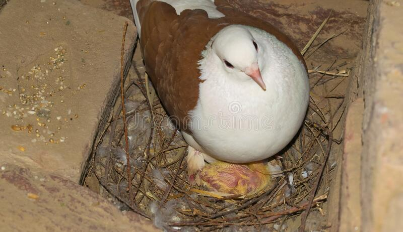 A baby pigeon with its mother. In a nest. A common pigeon chick in nest.Selective focus stock image