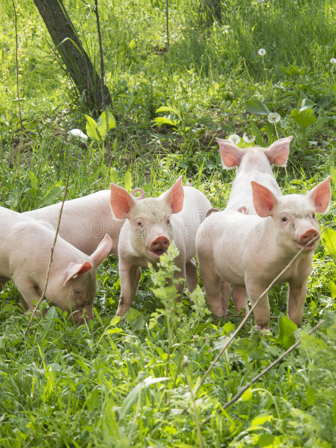 Baby Pigs On The Grass Stock Image Image Of Pasture