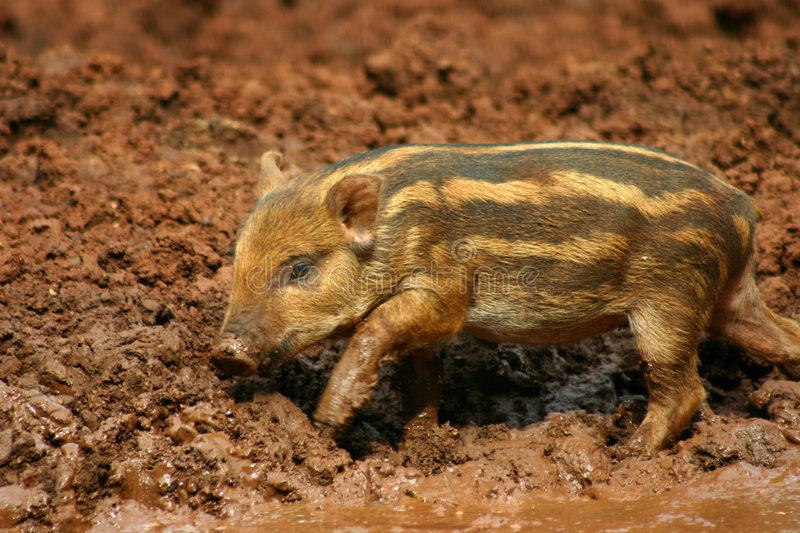 Baby pigs in the mud 4 royalty free stock photo