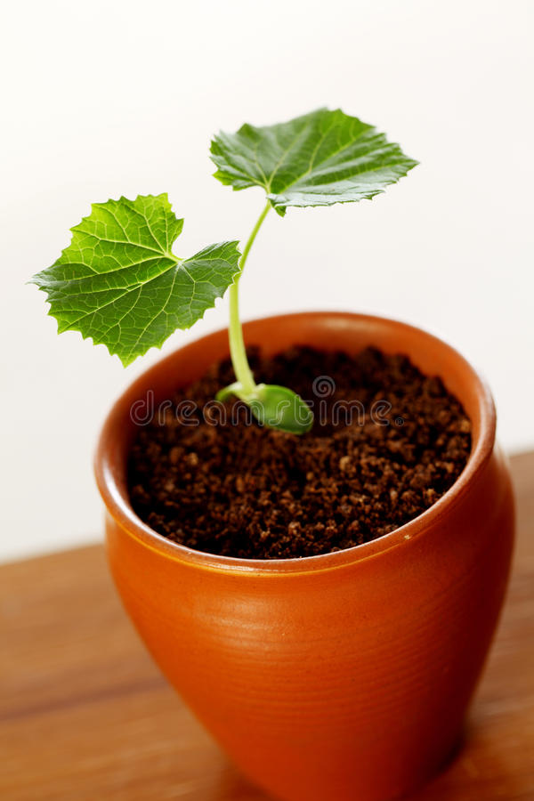 Baby plant-beginnings royalty free stock photo