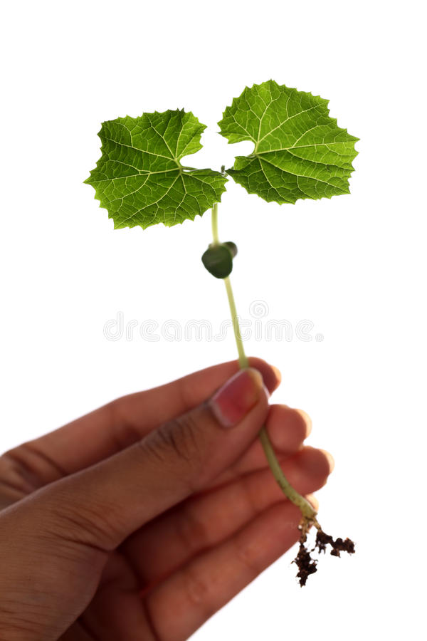 Baby plant-New life royalty free stock photography