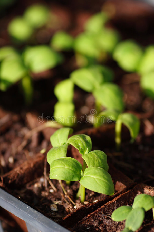Baby plants royalty free stock photography