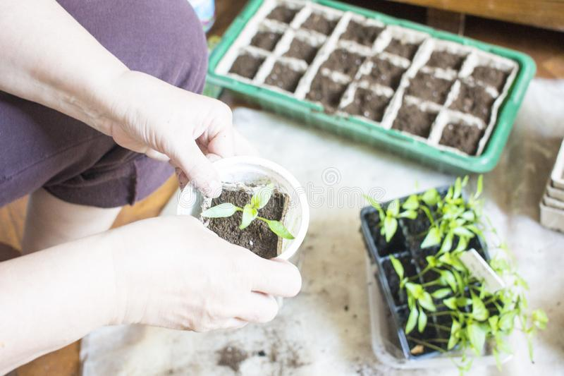 Baby plants seeding, black hole trays for agricultural seedlings.The spring planting. Early seedling , grown from seeds in boxes. Seedlings in peat pots.Baby royalty free stock photo