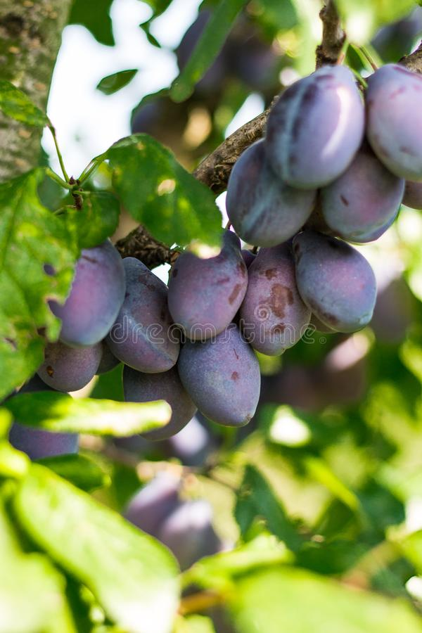 Baby Plums in Tree Waiting to GO Full Ripe royalty free stock photography
