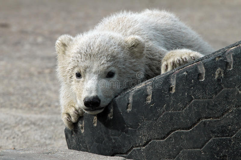 Baby polar bear. Laying on a tire royalty free stock image