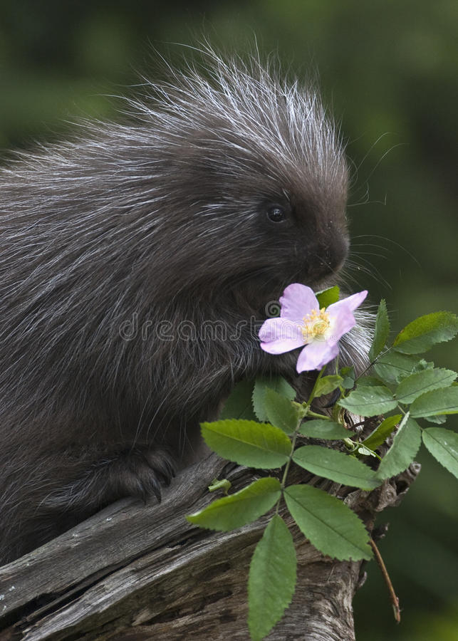 Baby Porcupine and Pink Flower royalty free stock photo