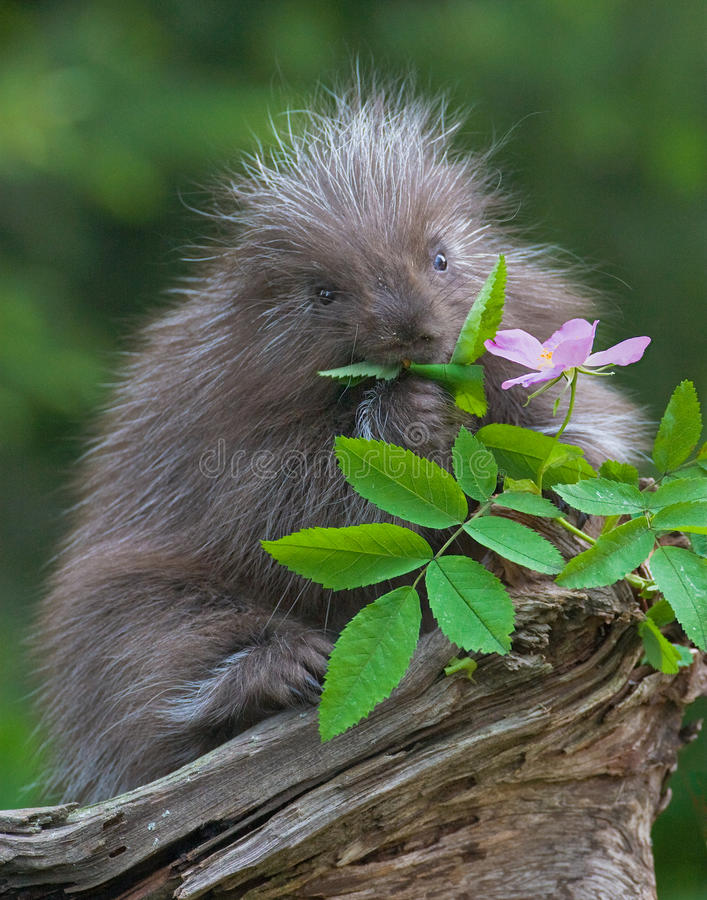 Baby porcupine. Eating flower leaf royalty free stock images