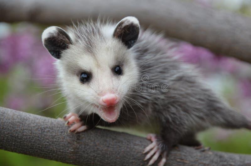 Baby Possum royalty free stock photos