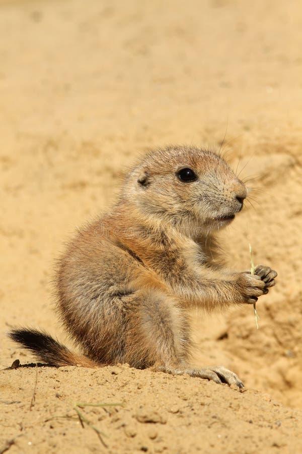 Baby prairie dog eating stock photos
