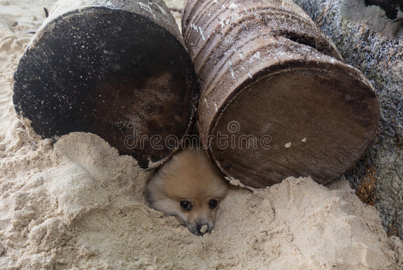 Baby prairie dog looking out of its burrow stock photo