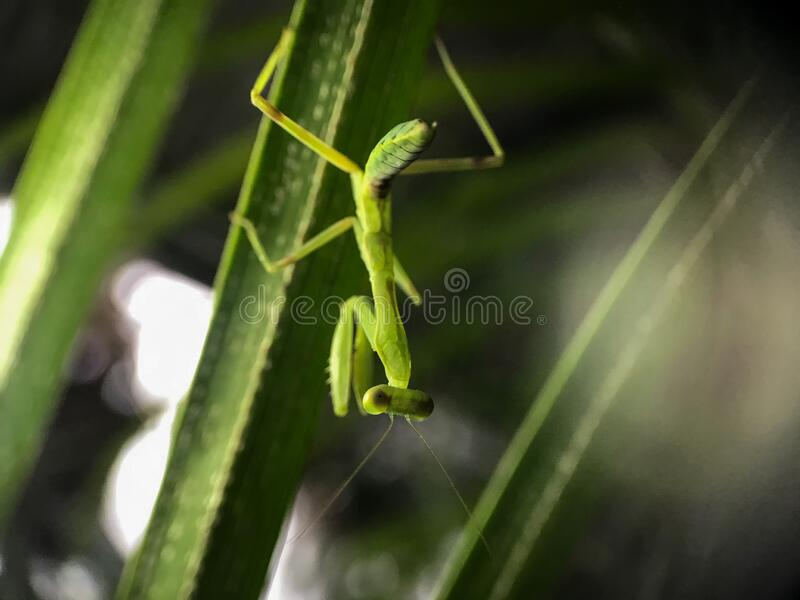 211 Baby Praying Mantis Photos Free Royalty Free Stock Photos