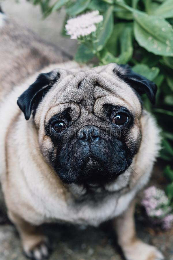 Baby pug. Dog pug. Close up face of a very Cute pug royalty free stock photography