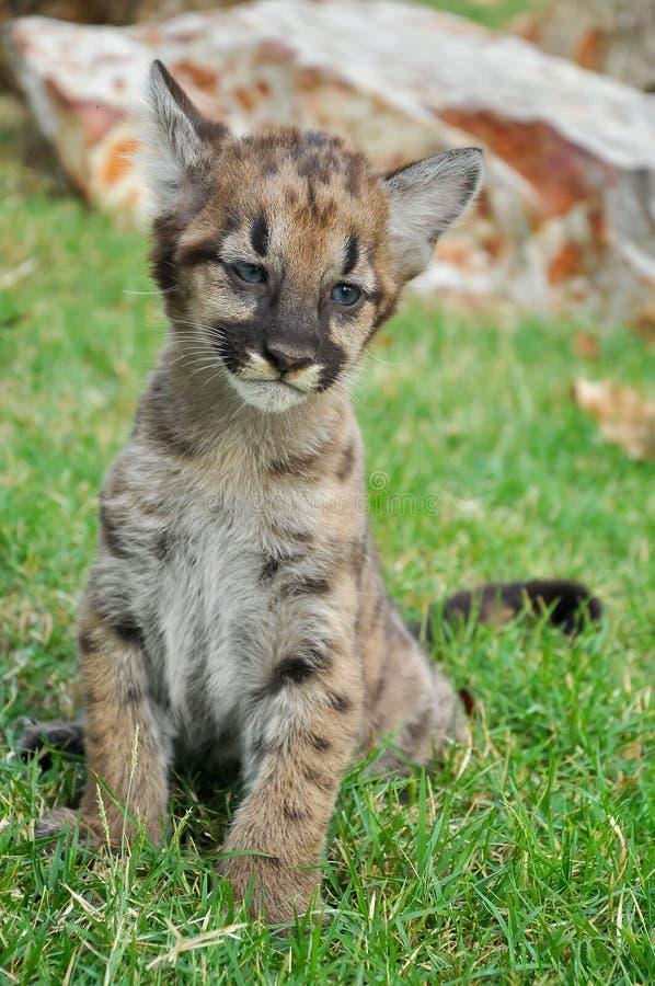 Free Baby Puma Royalty Free Stock Photo - 32644895