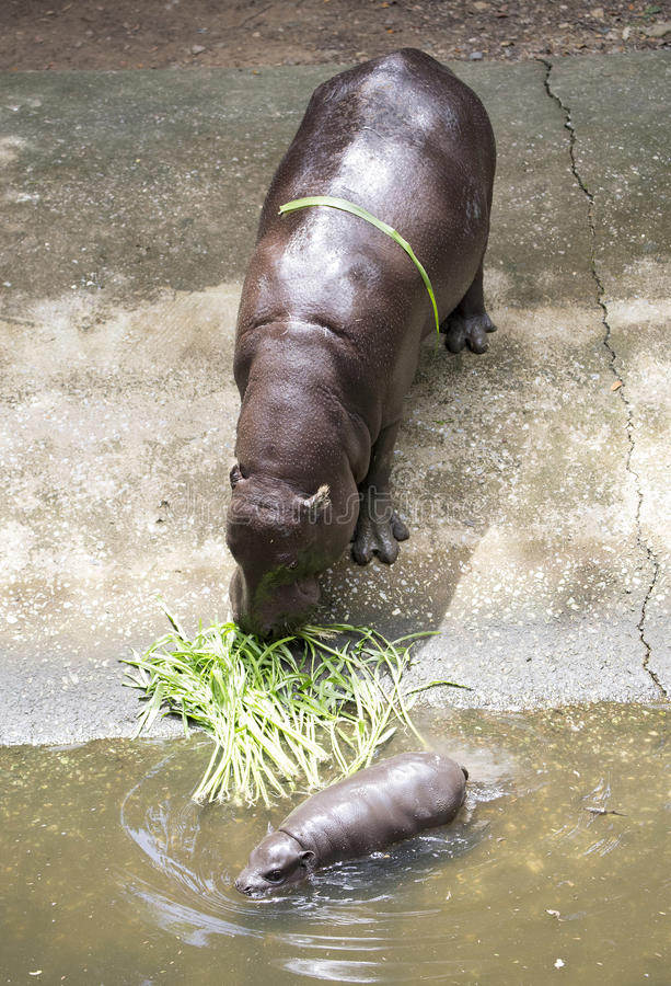 Baby Pygmy hippopotamus and morther. Baby Pygmy hippopotamus with mother royalty free stock images