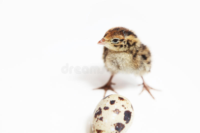 Baby quail royalty free stock photos