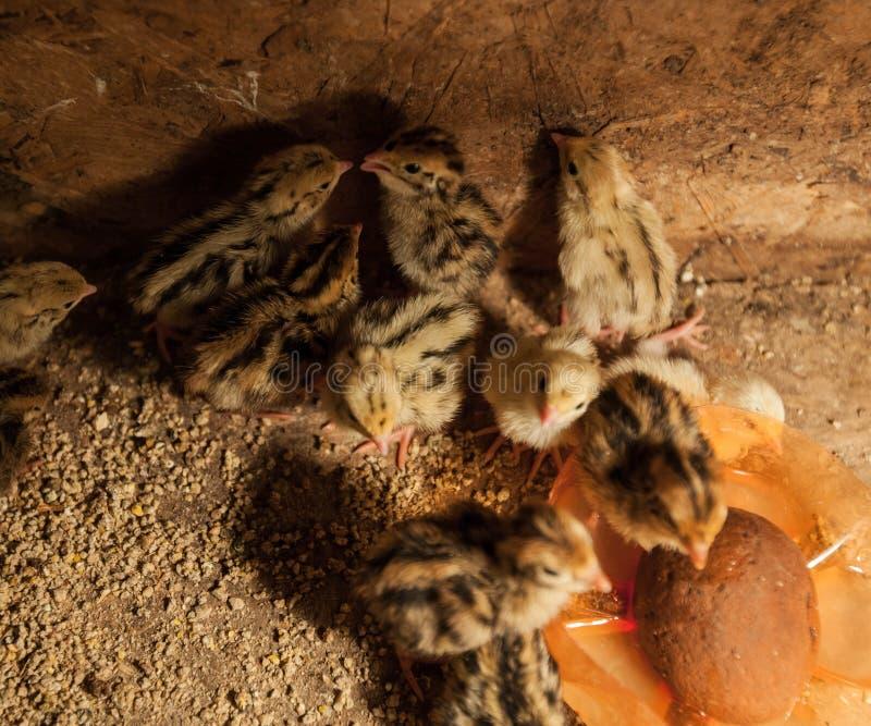 Baby quail farm royalty free stock photos