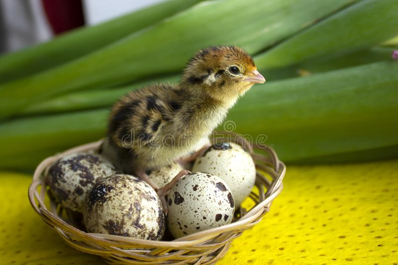 Baby quail sitting on eggs in a basket. Easter. The concept of the birth of a new life stock photo