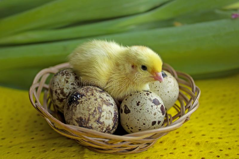 Baby quail sitting on eggs in a basket. Easter. The concept of the birth of a new life royalty free stock photo