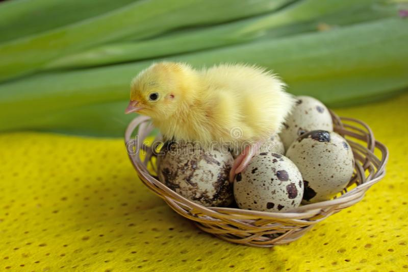 Baby quail sitting on eggs in a basket. Easter. The concept of the birth of a new life royalty free stock photography