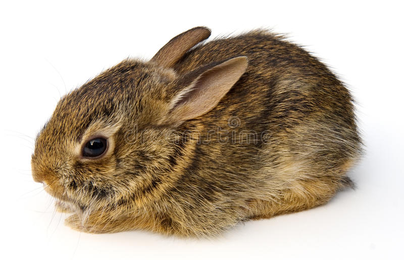 Baby Rabbit. Wild baby Eastern Cottontail rabbit (Sylvilagus floridanus) isolated on white background stock photos