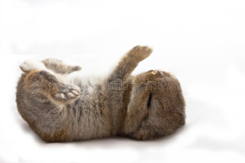 Baby rabbit. Cute baby rabbit sleeping on white background royalty free stock image