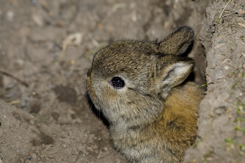 Baby rabbit. Taken in my garden , coming out of the burrow royalty free stock photo