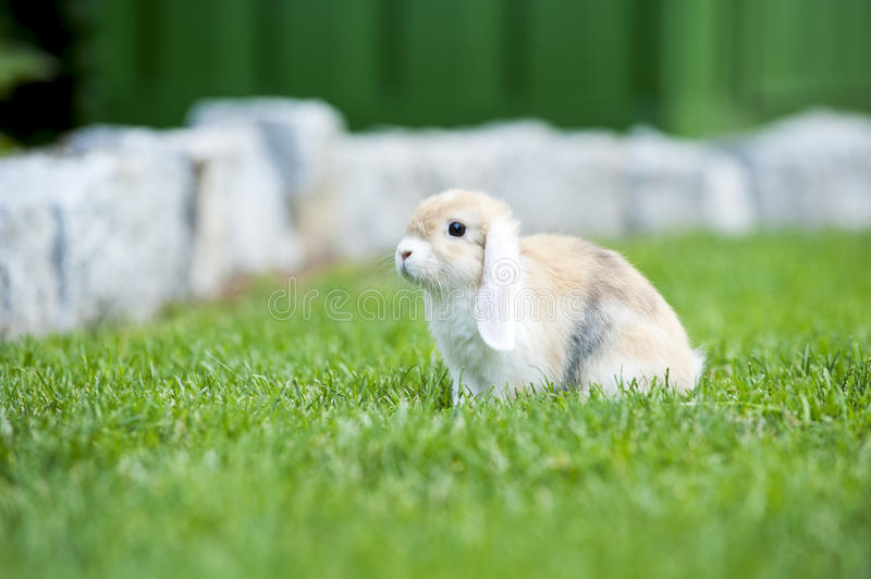 Baby rabbit. Free in the garden outside royalty free stock photo