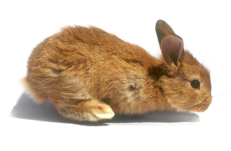 Download Baby rabbit. stock photo. Image of easter, copy, white - 32209674