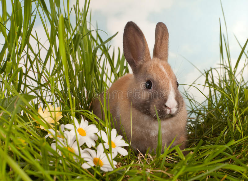 Baby rabbit and daisies stock photography