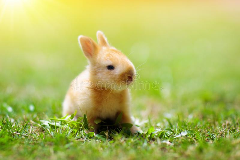 Baby rabbit eating grass outdoor on sunny summer day. Easter bunny in garden. Home pet for kid. Cute pets and animals for family. With children royalty free stock images