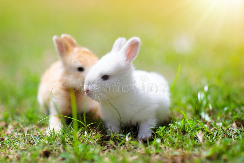Baby rabbit eating grass outdoor on sunny summer day. Easter bunny in garden. Home pet for kid. Cute pets and animals for family. With children royalty free stock photo