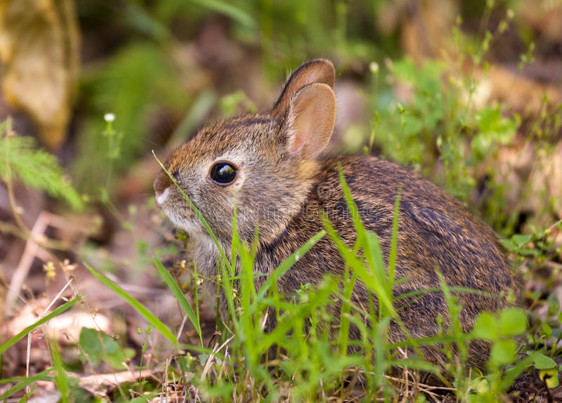 Baby rabbit in forest. Cute small baby rabbit on forest floor in grassy area stock images