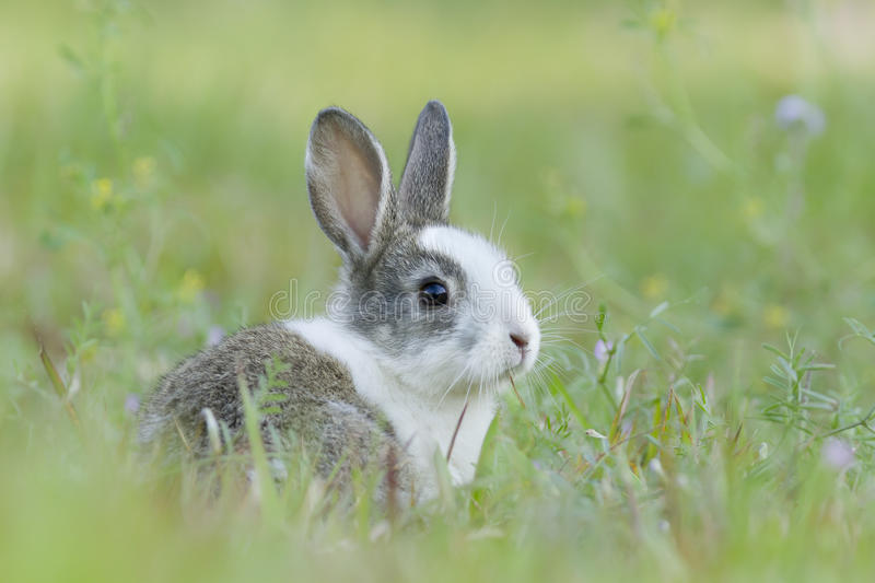 Baby rabbit in the grass. Baby rabbit playing in the grass royalty free stock photography