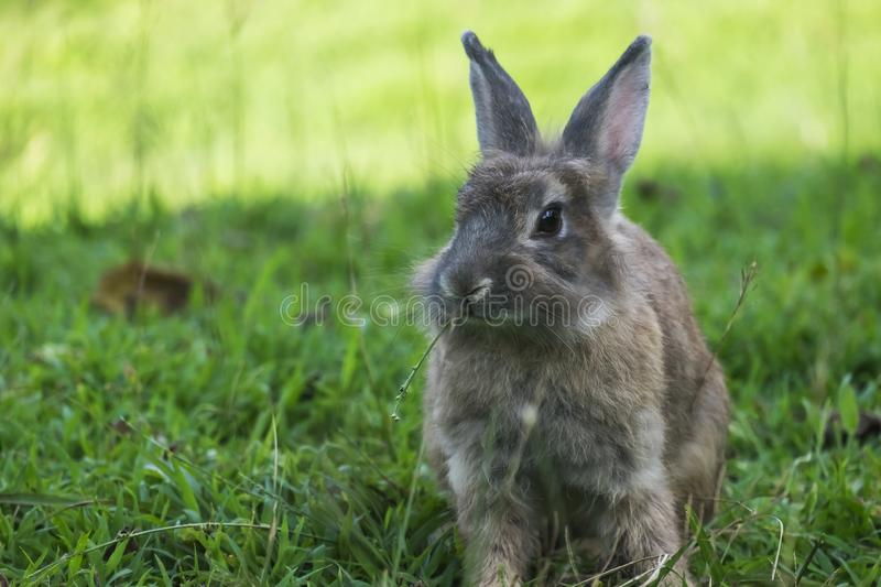 Baby rabbit in grass. royalty free stock image