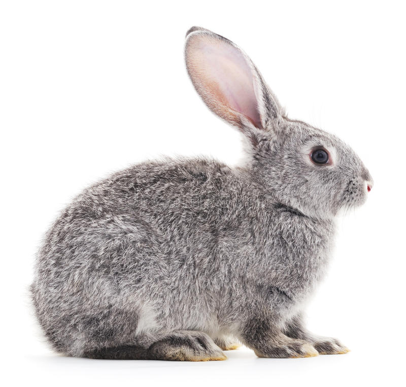 Baby rabbit. Grey baby rabbit on a white background royalty free stock photography