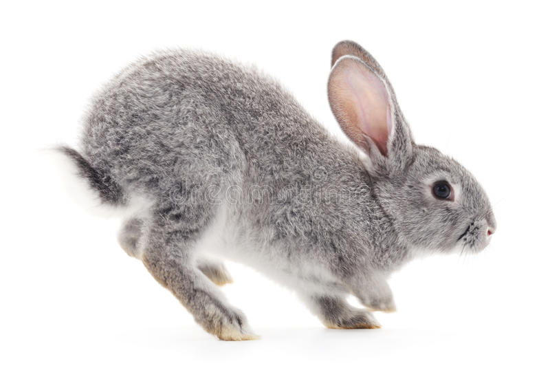 Baby rabbit. Grey baby rabbit on a white background royalty free stock photos