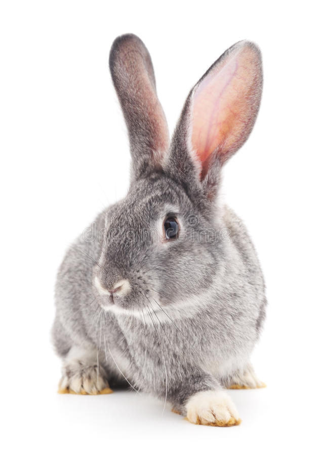 Baby rabbit. Grey baby rabbit on a white background royalty free stock photo