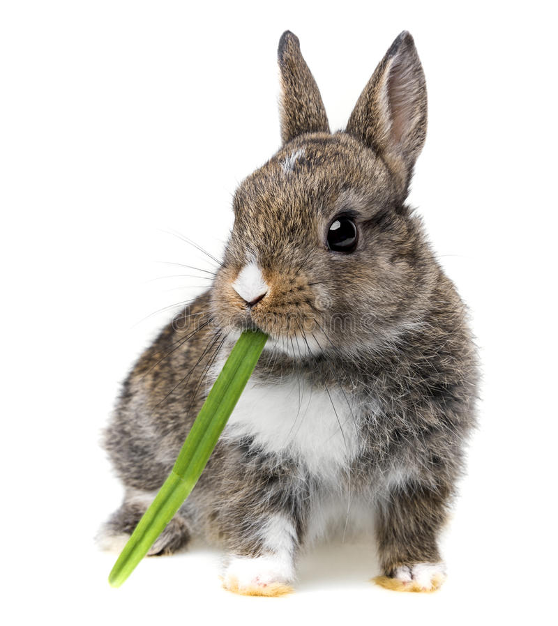 Baby rabbit. Little baby rabbit eating a grass stock photo