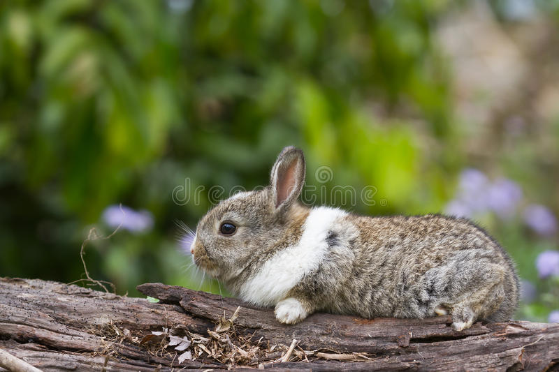 Baby rabbit on a log. Small baby rabbit on a log royalty free stock photography