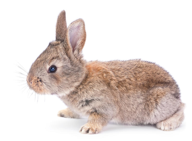 Baby rabbit on white stock image
