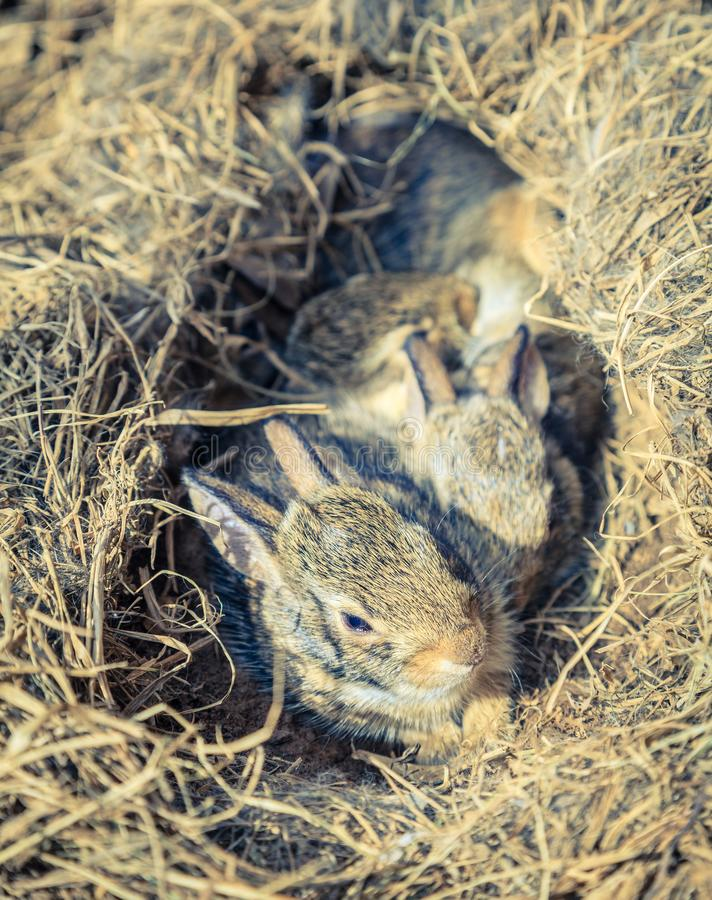 Baby rabbits in the nest stock photography