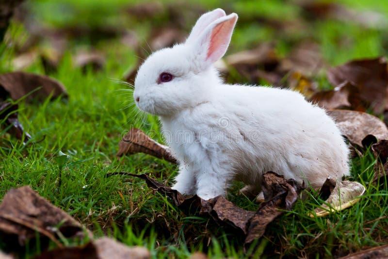 Baby rabbits are running around. Rabbits, white rabbits, baby rabbits, pets, green, red, white hair stock image